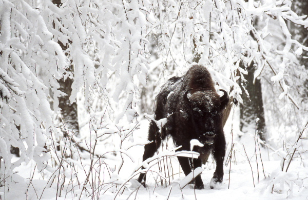 Bison walking in Bialowieza forest after snow storm